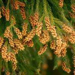 ペパーミントの効能が花粉症に効く?鼻水を抑える使い方とは?