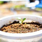 種からミント栽培!手順と冬越し方法をわかりやすく解説!