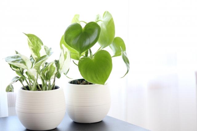 水耕栽培,観葉植物