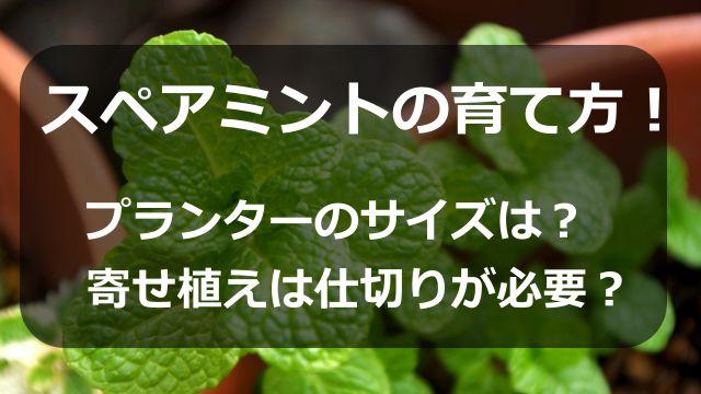 スペアミントの育て方!プランターのサイズは?寄せ植えは仕切りが必要?
