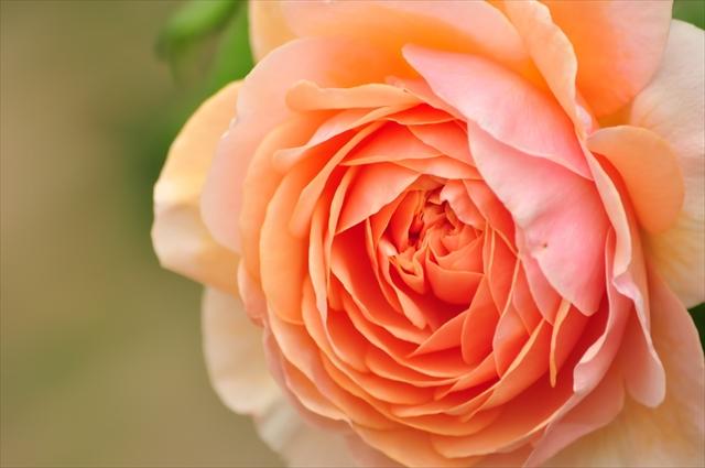バラ,花言葉