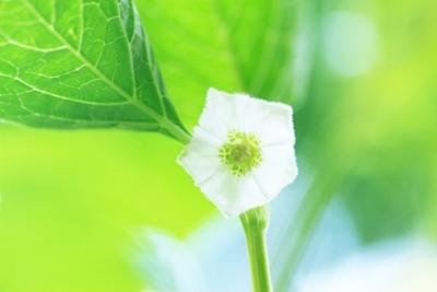 ホオズキ花