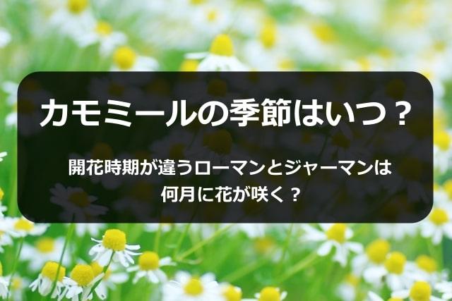 カモミールの季節はいつ?開花時期が違うローマンとジャーマンは何月に花が咲く?