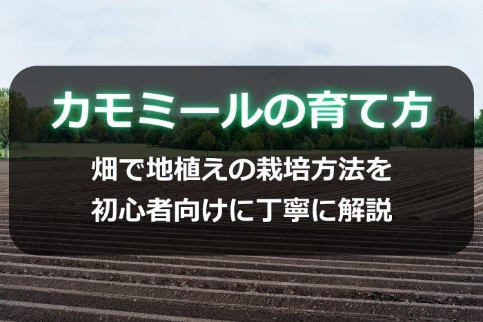 カモミールの育て方!畑で地植えの栽培方法を初心者向けに丁寧に解説