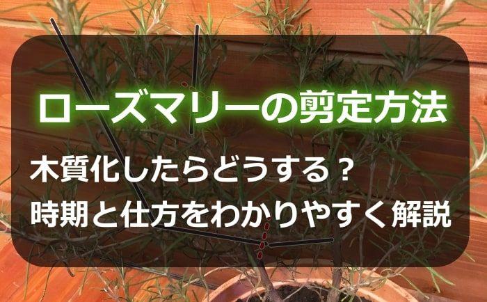 ローズマリーの剪定方法!木質化したらどうする?時期と仕方をわかりやすく解説