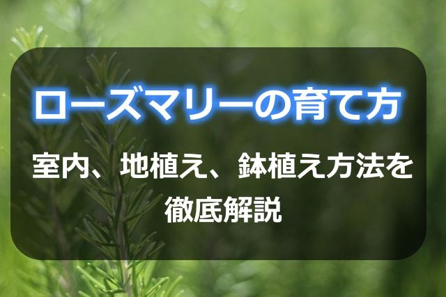 ローズマリーの育て方!室内、地植え、鉢植え方法を徹底解説