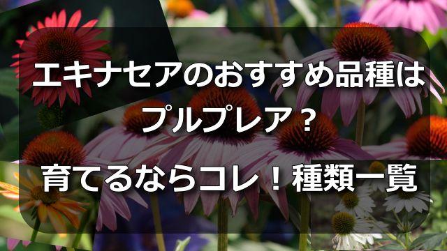 エキナセアのおすすめ品種はプルプレア?育てるならコレ!種類一覧