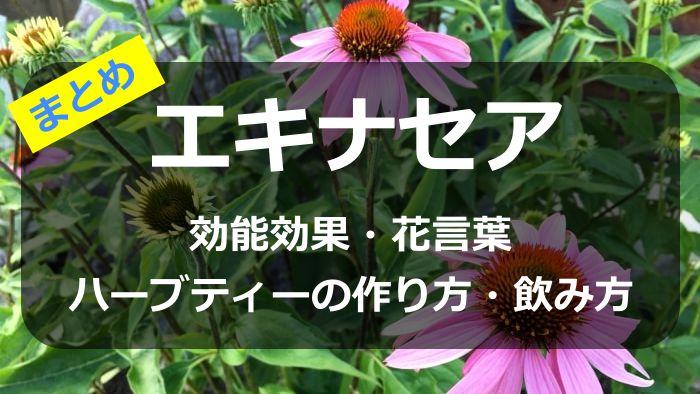 エキナセアの効能効果や花言葉、ハーブティーの作り方・飲み方まとめ